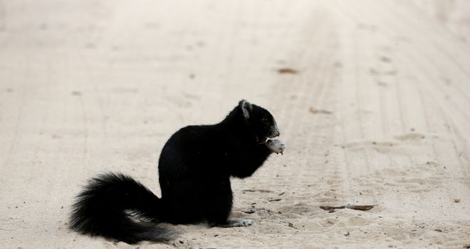 This furry fellow could not stay out of Pinehurst's sand trap - but will the players?